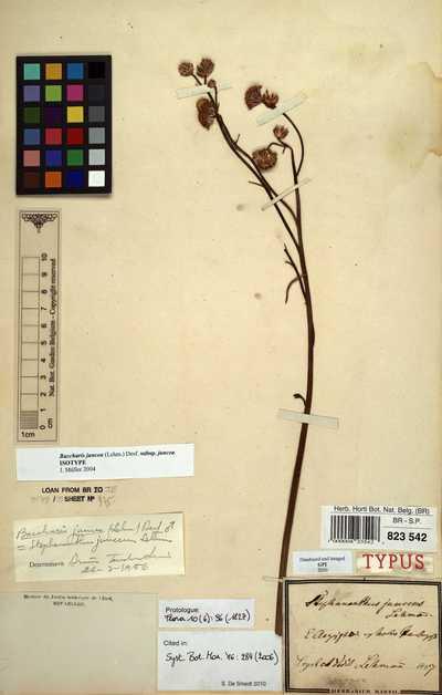 Baccharis juncea (Lehm.) Desf. subsp. juncea