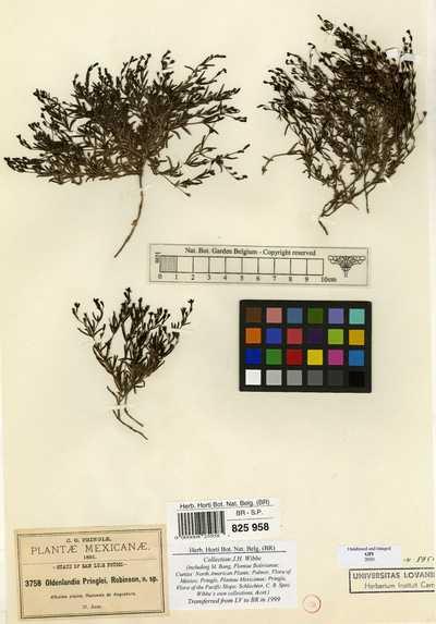 Oldenlandia pringlei B.L.Rob.