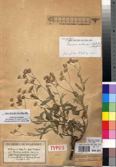 Vernonia aschersonii Sch.Bip.