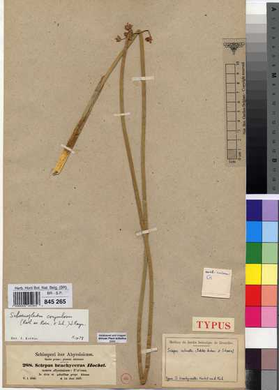 Schoenoplectus corymbosus (Roth ex Roem. & Schult.) J.Raynal