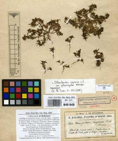 Oldenlandia capensis L.f. var. pleiosepala Bremek.