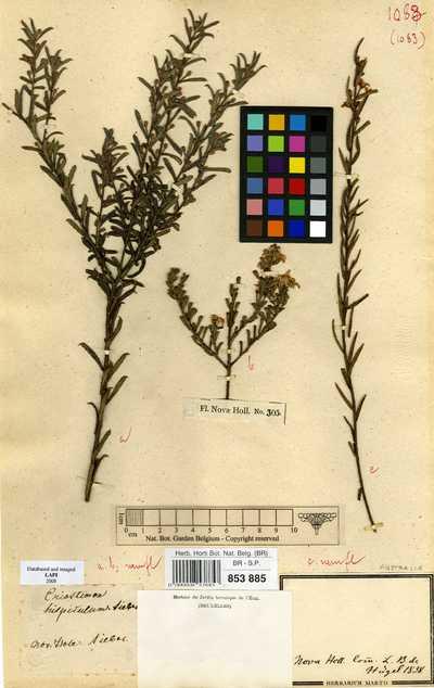 Philotheca hispidula (Spreng.) Paul G.Wilson