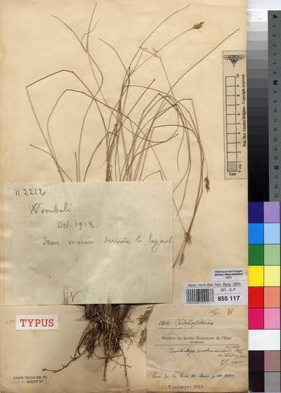 Loudetia vandersytii (De Wild.) C.E.Hubb.