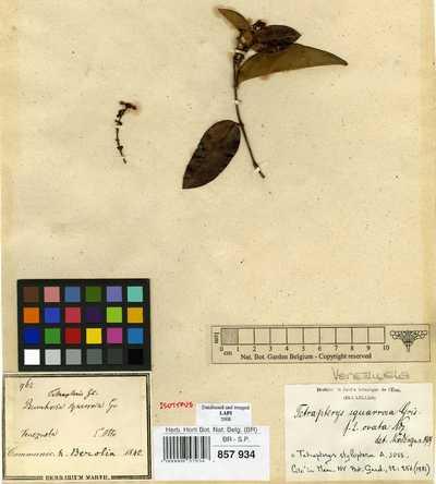 Tetrapterys styloptera A.Juss.
