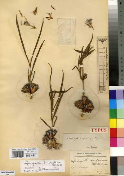 Lepidagathis fischeri C.B.Clarke