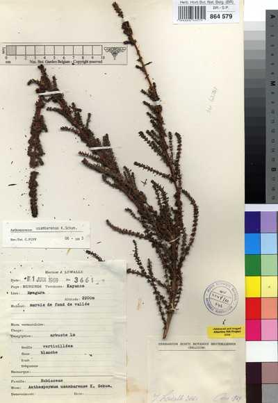 Anthospermum usambarense K.Schum.