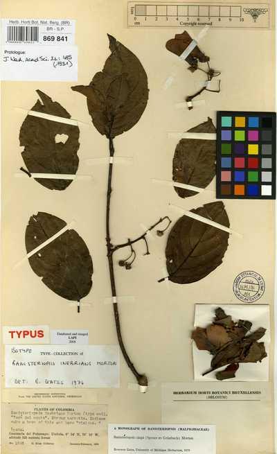 Banisteriopsis caapi (Spruce ex Griseb.) C.V.Morton
