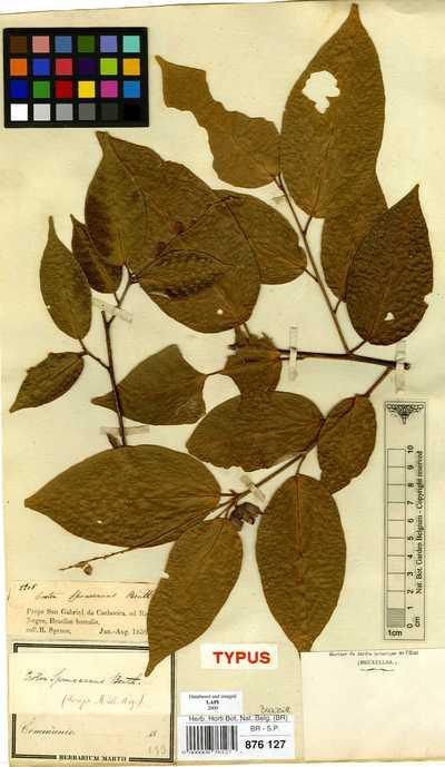 Croton spruceanus Benth.