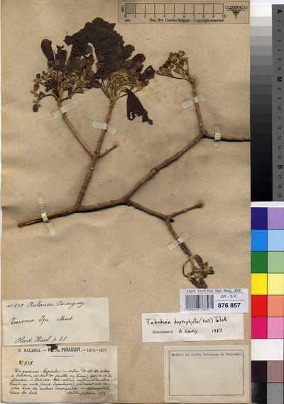 Handroanthus heptaphyllus (Vell.) Mattos