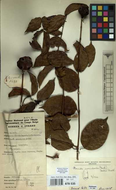 Morinda morindoides (Baker) Milne-Redh.