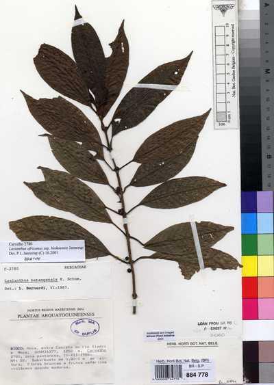 Lasianthus africanus Hiern subsp. biokoensis Jannerup