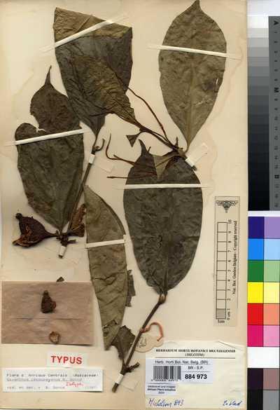 Oxyanthus letouzeyanus Sonké