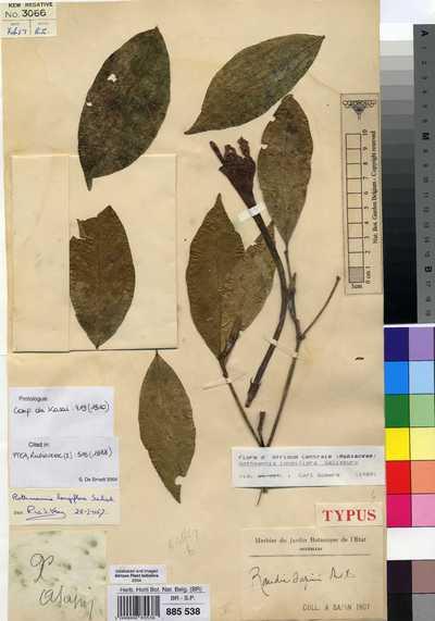 Rothmannia longiflora Salisb.