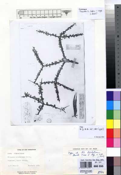 Rhigozum trichotomum Burch.