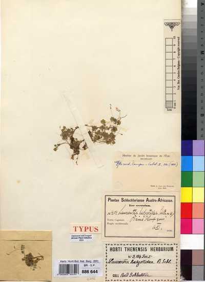 Laurentia hedyotidea Schltr.