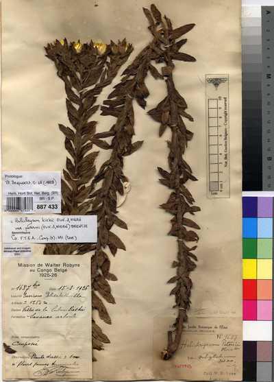 Helichrysum kirkii Oliv. & Hiern var. petersii (Oliv. & Hiern) Beentje
