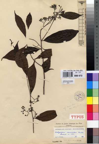 Dichapetalum acuminatum De Wild.