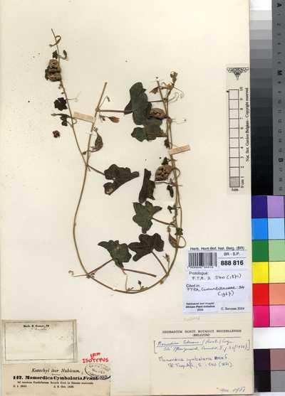 Momordica cymbalaria Hook.f.