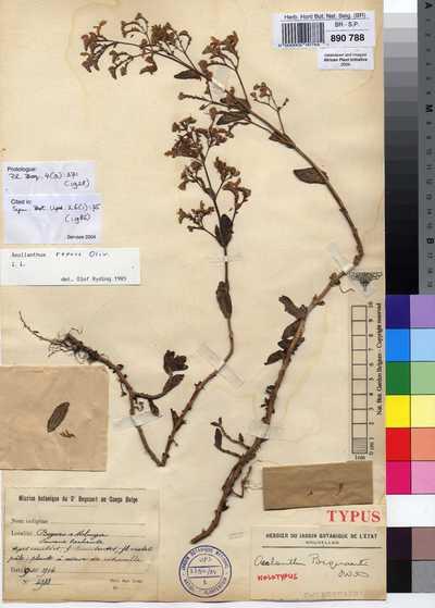 Aeollanthus repens Oliv.