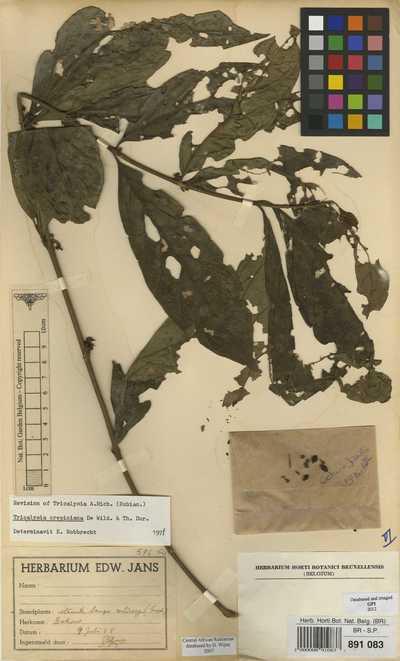 Empogona crepiniana (De Wild. & T.Durand) J.Tosh & Robbr.