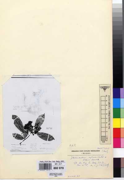 Gilbertiodendron aylmeri (Hutch. & Dalziel) J.Léonard