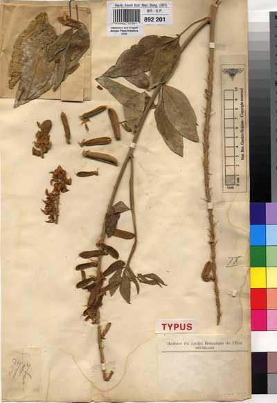 Crotalaria cleomifolia Welw. ex Baker