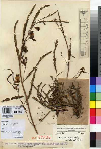 Aeschynomene cristata Vatke var. pubescens J.Léonard