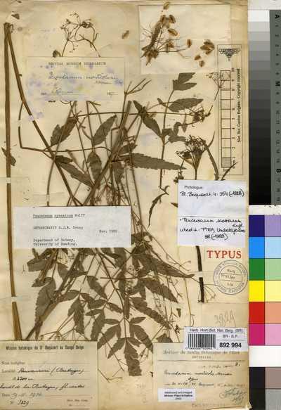 Afroligusticum scottianum (Engl.) P.J.D.Winter
