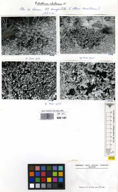 Ecballium elaterium (L.) A. Richard