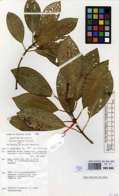 Bruguiera cylindrica (L.) Blume