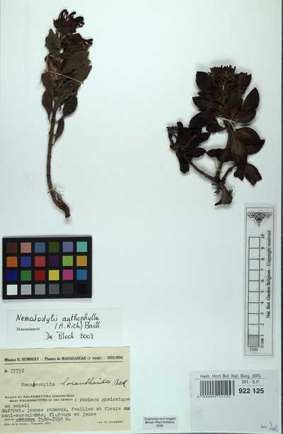 Nematostylis anthophylla (A.Rich.) Baill.
