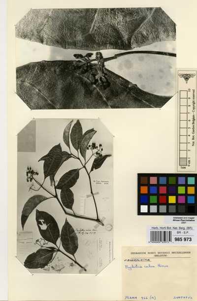 Psychotria calva Hiern