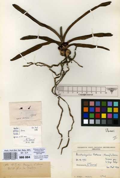 Ancistrorhynchus metteniae (Kraenzl.) Summerh.