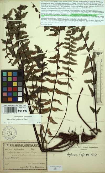 Asplenium harpeodes Kunze var. incisum Rosenst. ex Hieron.