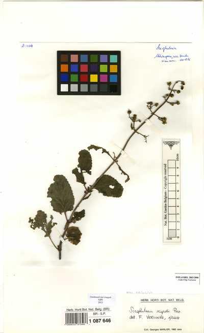Scrophularia scopolii Loisel.