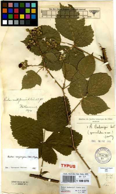 Rubus conjungens (Bab.) W.C.R.Watson