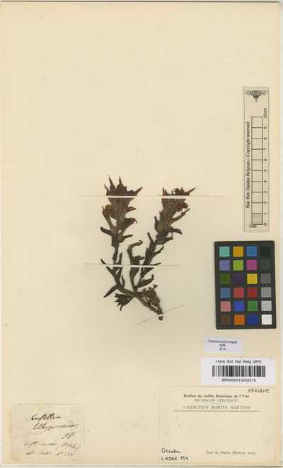 Castilleja lithospermoides Kunth