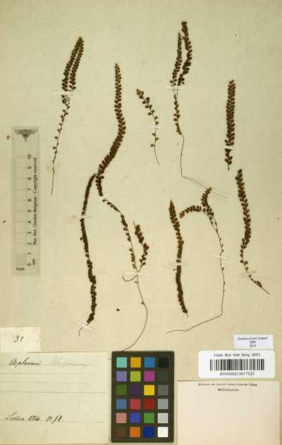 Terpsichore heteromorpha (Hook. & Grev.) A.R.Sm.