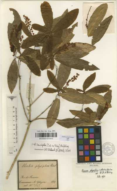 Rinorea laevigata (Sol. ex Ging.) Hekking
