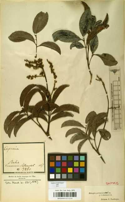 Matayba guianensis Aubl.