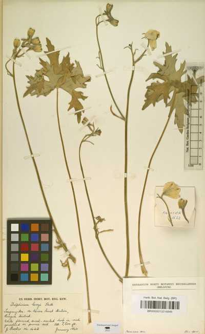 Delphinium leroyi Franch. ex Huth
