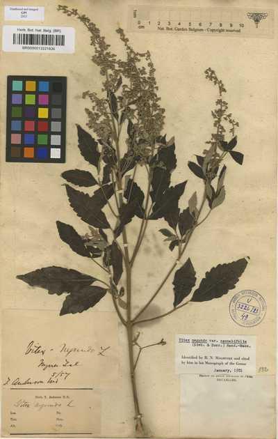 Vitex negundo L. var. cannabifolia (Siebold & Zucc.) Hand.-Mazz.