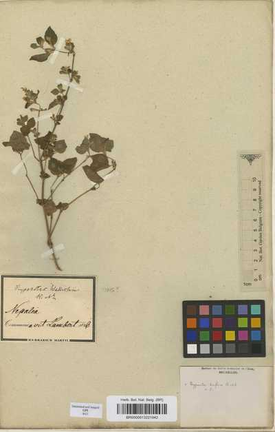 Hypoestes triflora (Forssk.) Roem. & Schult.