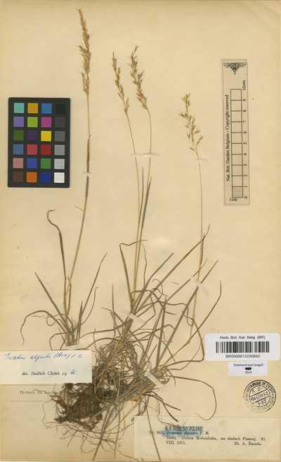 Trisetum alpestre (Host) P.Beauv.