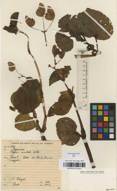 Begonia cucullata Willd.
