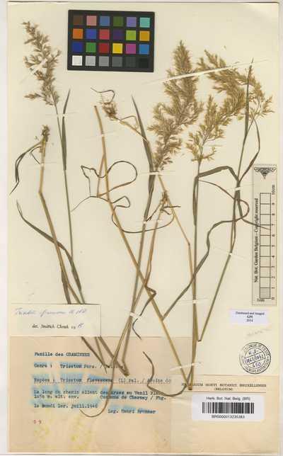 Trisetum flavescens (L.) P.Beauv.