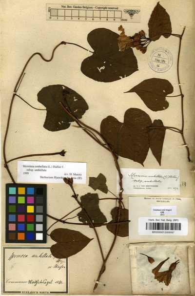 Merremia umbellata (L.) Hallier f.