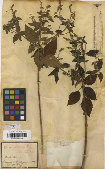 Croton urticifolius Lam.