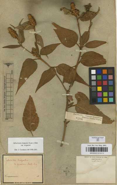 Croton triqueter Lam. var. triqueter