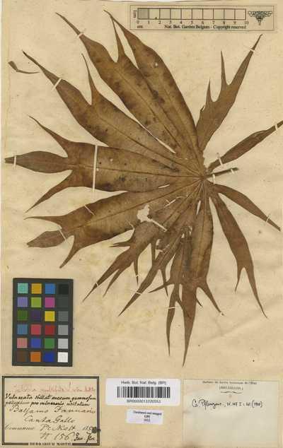 Jatropha multifida L.
